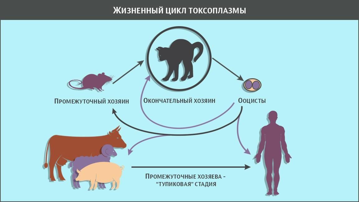 Эксперт Сеченовского университета рассказывает о том, как токсоплазма может влиять на работу мозга